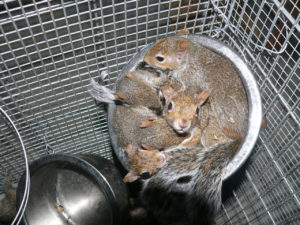 A little bowl of baby rescue squirrels